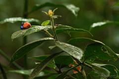 Bijou (patoche21) Tags: ameriquelatine animaliere costarica couleur dxo fleur flore nature photographie plante détail forêt végétation patrickbouchenard latinamerica centralamerica flora plant forest leaf