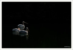 Pelicans (Verma Ruchi) Tags: pelicans white water birds three