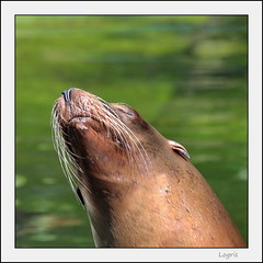 Sun worshiper (Logris) Tags: zoo tier animal seehund seal fun canon sun sunny sonne sonnig