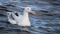 """Snowy"" Wandering Albatross (Diomedea exulans) (sam_hierofalco) Tags: aves diomedeidae diomedea exulans"