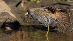 Australian Crake (Porzana fluminea) (sam_hierofalco) Tags: aves rallidae porzana fluminea