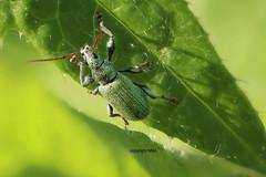 Curculionidae (Phil Arachno) Tags: germany deutschland focusstacking curculionidae rüsselkäfer eppstein hessen