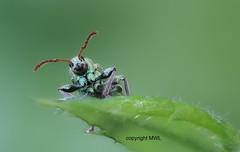 Eppstein Curculionidae (Phil Arachno) Tags: germany deutschland focusstacking curculionidae rüsselkäfer insecta arthropoda coleoptera eppstein hessen