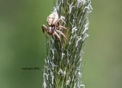 Thomisidae (Phil Arachno) Tags: germany deutschland focusstacking niederems thomisidae arachnida chelicerata arthropoda krabbenspinne hessen