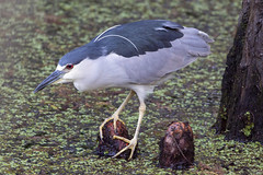 Black-crowned Night Heron (DFChurch) Tags: sixmilecypressslough fortmyers florida nature animal swamp wild black crowned night heron nycticoraxnycticorax