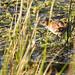 Baillon's Crake (Zapornia pusilla (palustris))