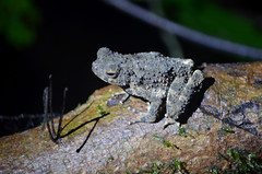 BRN19-0449j (ianh3000) Tags: gunang mulu national park sarawak borneo malaysia frog amphibian