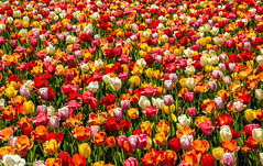 More Tulips!!! Ya got a problem with dat? (Jim Frazier) Tags: 2019 201904cantignytulips 201904tulips liliaceae tulipa abstract april background beautiful beauty bloom blooming blossoming blossoms botanic botanicgardens botanicalgardens bunch cantigny cantignypark carpet colorfield curtain desktop dupage dupagecounty flora floral flowering flowers forbs gardening gardens group horticulture il illinois jimfraziercom landscape lowerburoakgarden many mass museums nature parks petals pile plants powerpoint preserves publicgardens q4 scenery scenic several spring texture tulips wall wallpaper wheaton jfpblog instagram facebook gardenblog f10 fastpictures f20