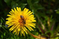 Joli soleil  (lovely sun) (Larch) Tags: fleur flower pissenlit dandelion printemps spring hautesavoie france abeille bee occupée busy nature herbe grass plante plant closeup jolisoleil soleil sun jaune yellow