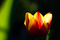 Burning Tulip (Theo Crazzolara) Tags: tulip tulpe fire burning hot orange red yellow feuer spring frühling natural nature garden fresh happy beautiful colourful easter evening blossom blooming growth elegance light macro closeup love bokeh sunset
