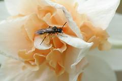 IMGP9270 (PahaKoz) Tags: весна природа spring nature сад цветение цветы garden blossom bloom blossoming flowers насекомое insect