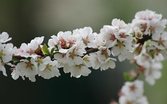 IMGP9242 (PahaKoz) Tags: весна природа spring nature сад цветение цветы garden blossom bloom blossoming flowers