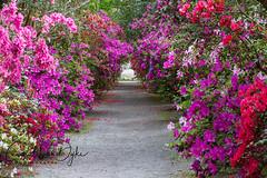 Tunnel of Love (Carol VanDyke) Tags: charleston sc garden azaleas tunnel alley rows flowers romantic spring magnoliaplantation