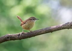 Carolina Wren (Thryothorus ludovicianus) (tkclip47) Tags: carolina wren bird perch branch tree thryothorusludovicianus wildlife nature