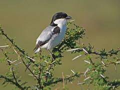 Taita Fiscal Lanius dorsalis (nik.borrow) Tags: bird fiscal shrike ndutu