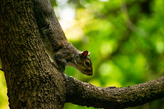Stealthy Squirrel (escape2eclipse) Tags: squirrel animal wildlife nature camouflage tree