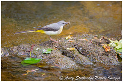 Hungry Mouths to Feed - Grey Wagtail (www.andystuthridgenatureimages.co.uk) Tags: wagtail grey male river stream water flowing exmoor uk food feeding nesting spring bird animal canon