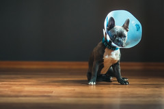 (Rebecca812) Tags: dog pets puppy neutered surgery coneofshame sad cute dogs animals pet canon portrait nopeople hardwoodfloor cone sleepy adorable frenchie frenchbulldog gray