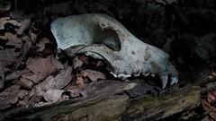 20180529_120931 (vorosveron86) Tags: mementomori autumn woods mulch skull deadwood forest oldforest darkforest dark darkness wolfdog mystic nature adventure entropy