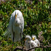 Great Egret and her chicks