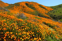 The Golden State! (gainesp2003) Tags: poppies flower wildflowers ca california 2019 superbloom walker canyon
