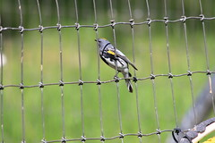 Yellow-rumped Warbler (hopping_jay) Tags: birds birdwatching birdphotography birding oregon southernoregon josephinecounty warblers yellowrumpedwarbler