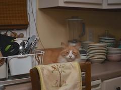 Jimmy and the leopard (rootcrop54) Tags: jimmy orange ginger tabby male cat white kitchen dishdrainer pillowcover happy boy leopard neko macska kedi 猫 kočka kissa γάτα köttur kucing gatto 고양이 kaķis katė katt katze katzen kot кошка mačka gatos maček kitteh chat ネコ