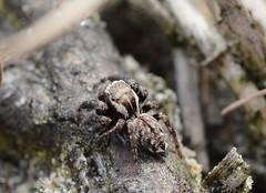 Evarcha michailovi - Jumping spider (westgpottery) Tags: salticidae springspin spider nature driftsand heather evarcha michailovi
