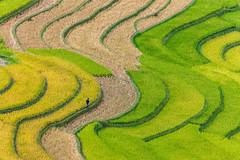 _J5K2976.0918.Lìm Mông.Cao Phạ.Mù Cang Chải.Yên Bái (hoanglongphoto) Tags: minimalisme asia asian vietnam northvietnam northwestvietnam northernvietnam landscape scenery vietnamlandscape vietnamscenery mucangchailandscape terraces terracedfields harveat seasonharvest curve abstract people landscapeandpeople canon canoneos1dsmarkiii canonef100400mmf4556lisusm tâybắc yênbái mùcangchải caophạ lìmmông phongcảnh ruộngbậcthang lúachín mùagặt mùcangchảimùagặt mùcangchảimùalúachín đườngcong trừutượng người phongcảnhcóngười tốigiản terracedfieldsinvietnam