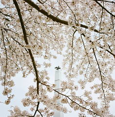 1203-08 (karl0513) Tags: film filmphotography filmisnotdead sakura japan 120film mamiya6mf