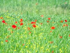 IMG_0055x (gzammarchi) Tags: italia paesaggio natura ravenna casalborsetti fiore papavero grano colore verde