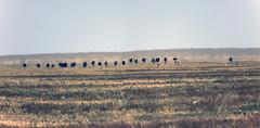 Ostriches and Thomson's gazelles, Serengeti, Tanzania (inyathi) Tags: africa africananimals africanwildlife africanbirds birds commonostriches struthiocamelus thomsonsgazelle eudorcasthomsonii gazelles ostriches serengeti
