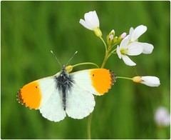Male Orange-tip - Coombe Hill Meadows (glostopcat) Tags: orangetipbutterfly butterfly insect invertebrate macro april spring glos wildflower ladyssmock cuckooflower gloucestershirewildlifetrust coombehillcanalmeadowsnaturereserve