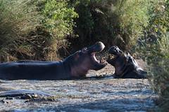 Hippopotakiss (Keith - Glasgow) Tags: africa hippopotamus eastafrica serengeti travel water animals serengetinationalpark tanzania subsaharanafrica hippos wildlife hippo