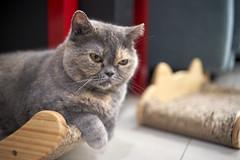 A9__DSC0042_C1 (Bazoka+Cynthia) Tags: cat oni 小婆 新北市 樹林區 貓