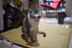 A9__DSC0033_C1 (Bazoka+Cynthia) Tags: cat 小婆 新北市 樹林區 空空 貓