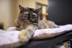A9__DSC0030_C1 (Bazoka+Cynthia) Tags: cat hani 小婆 新北市 樹林區 貓