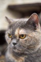 A9__DSC0028_C1 (Bazoka+Cynthia) Tags: cat oni 小婆 新北市 樹林區 貓