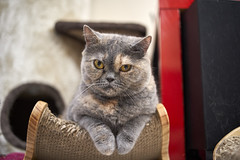 A9__DSC0025_C1 (Bazoka+Cynthia) Tags: cat oni 小婆 新北市 樹林區 貓