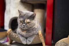 A9__DSC0024_C1 (Bazoka+Cynthia) Tags: cat oni 小婆 新北市 樹林區 貓