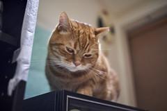 A9__DSC0017_C1 (Bazoka+Cynthia) Tags: alpha cat 小婆 新北市 樹林區 貓