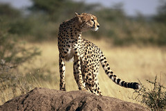 Cheetah, Piaya Serengeti, Tanzania (inyathi) Tags: africa africananimals africanwildlife eastafrica tanzania cheetahs acinonyxjubatus bigcats cats carnivores predators piaya serengeti safari
