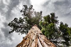 25-Le séquoïa place de la mairie (Alain COSTE) Tags: 2019 bourdeilles dordogne nikon ocb périgordvert sigma20mmf14 printemps village france