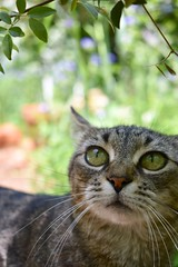 Camille (rootcrop54) Tags: camille female mackerel striped tabby cat bigeyes green eyes neko macska kedi 猫 kočka kissa γάτα köttur kucing gatto 고양이 kaķis katė katt katze katzen kot кошка mačka gatos maček kitteh chat ネコ cc100 cc200