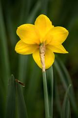 Back of Daffodil 3-0 F LR 4-13-19 J177 (sunspotimages) Tags: flower flowers daffodil daffodils yellow yellowflower yellowflowers yellowdaffodil yellowdaffodils nature