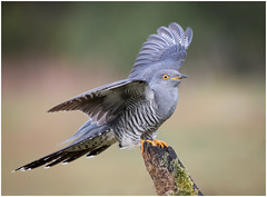 Colin wing up (dickiebirdie68) Tags: bird cuckoo action wildlife avian feeding wild nature nikon d850 wings flight