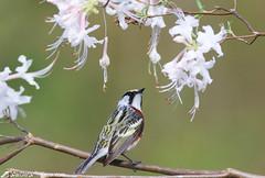 Chestnut-sided warbler and Wild Azalae (geno k) Tags: chestnutsidedwarbler wildazalea northcarolina spring 4302019 blueridgeparkway warblerwhisperercom workshop