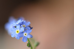 Forget-me-not (The Hobbit Hole) Tags: dof macro flower 1050mmf28 closeup