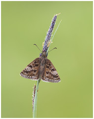 Dingy Skipper (nigel kiteley2011) Tags: butterfly lepidoptera skipper butterflies macro nature canon 5dmk3 sigma180mm
