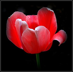 Natural Wonder (dimaruss34) Tags: newyork brooklyn dmitriyfomenko image flower tulip